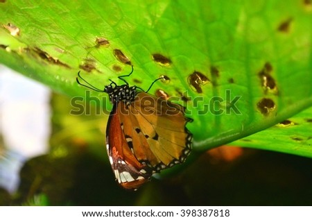 Wet Butterfly and Lotus Leaf