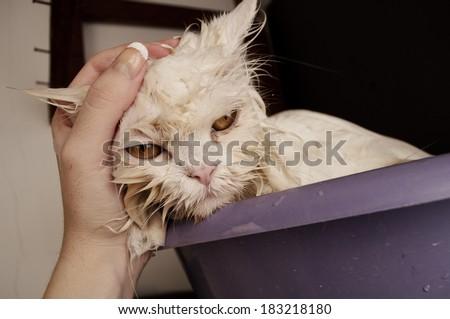 Wet cat  having a bath - stock photo