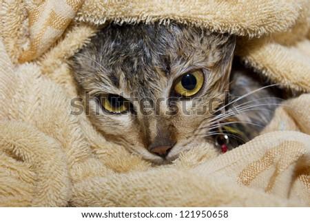 Wet cat in towel - stock photo