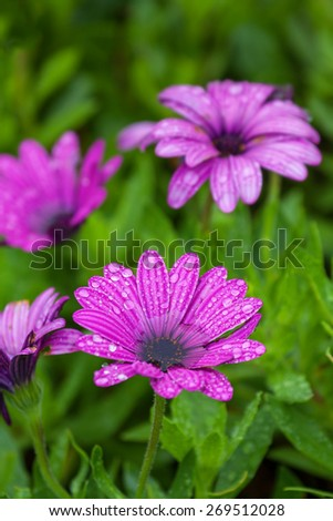 wet daisy flower purple in color against a green blurred background with water droplets on the petals - stock photo