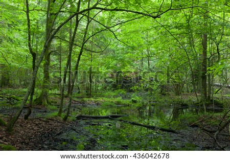 Wet deciduous stand of Bialowieza Forest in springtime with standing water rain after in foreground, Bialowieza Forest, Poland, Europe