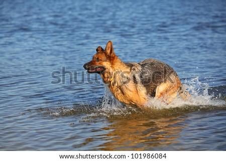 Wet german sheep-dog running in the water - stock photo