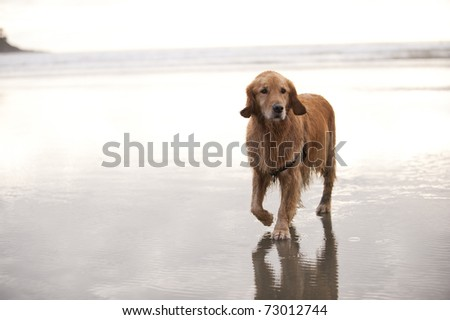 Wet Golden Retriever walks towards camera on a wet sandy beach. The ocean and sky in the background is mostly bright or white.