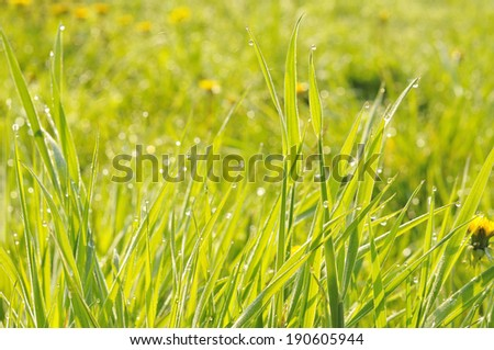 Wet grass in the morning against the light. - stock photo