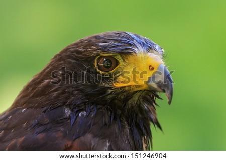 wet harris hawk - stock photo