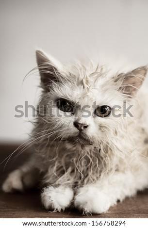 Wet kitten - stock photo