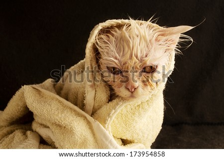 Wet kitten after bath wrapped in a towel - stock photo