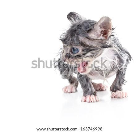 Wet little kitten - stock photo