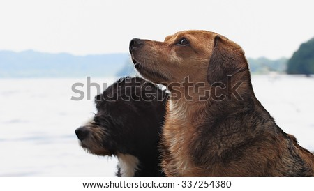 wet  mixed breed dogs after bathing in a lake - stock photo