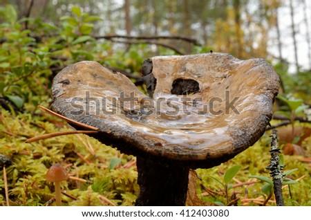 wet mushroom, fungus in autumn wild forest macro - stock photo