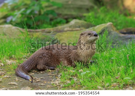 wet otter in the grass - stock photo