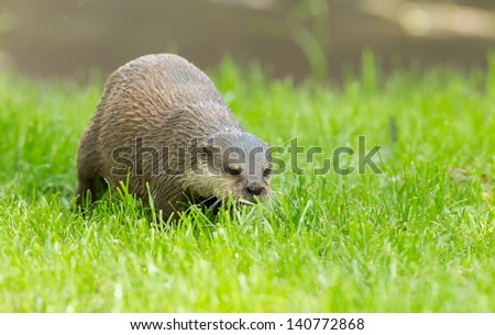 Wet otter is standing in the green grass, Holland - stock photo