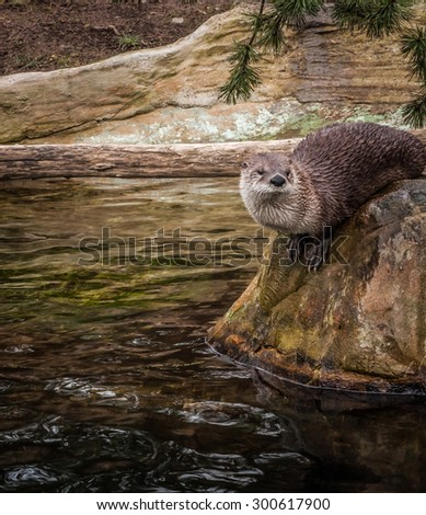 Wet otter sitting on a rock, Prague, the Czeck Republic