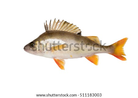 Wet perch isolated over white background.