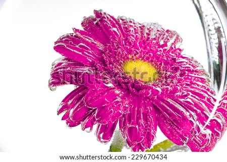 wet pink flower of a gerbera on a white background - stock photo