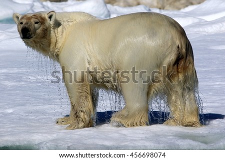 Wet polar bear standing on ice floe looking towards camera