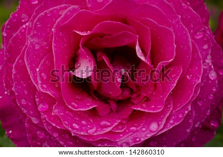 Wet Rose - stock photo