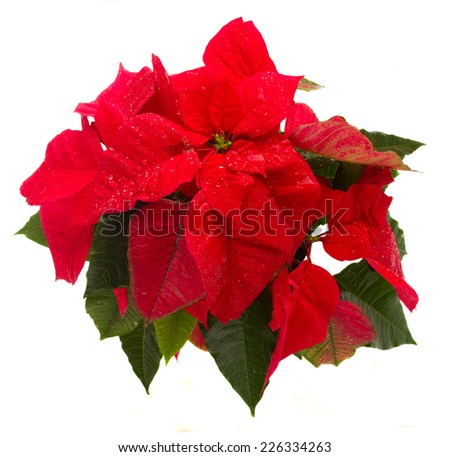 wet scarlet poinsettia flower or christmas star isolated on a white background