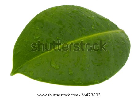 Wet sheet of a ficus elastica  with a drop of water isolated on white