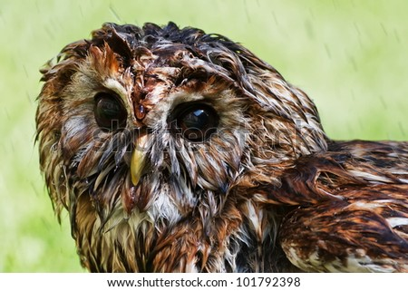 wet Tawny Owl after rain