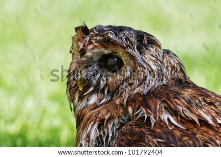 wet Tawny Owl with green background - stock photo