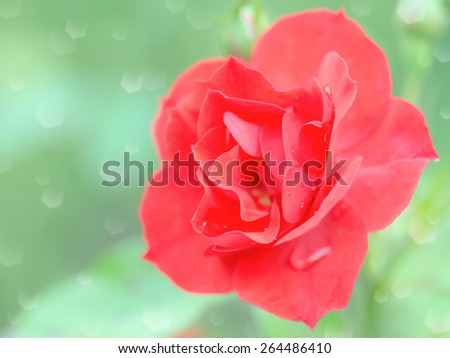 Wet tender red rose flower with rain drops. Stock photo with selective soft focus shallow DOF and blurred bokeh background - stock photo
