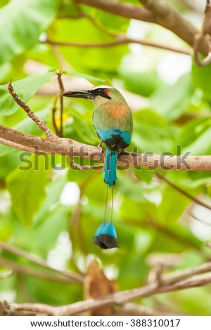 Wet turquoise browed mot mot sits in a almond tree in the rain holding an insect in its beak