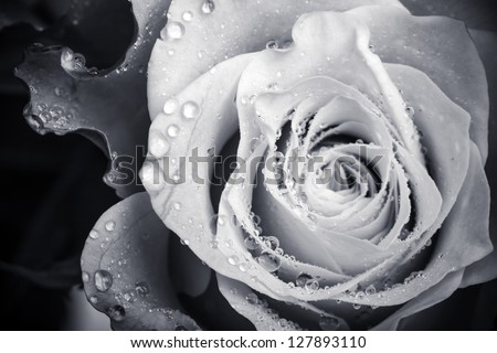 Wet white rose flower monochrome close-up photo with shallow depth of field - stock photo