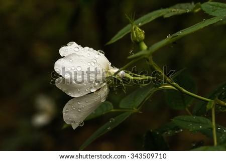 wet white wild rose against black background  - stock photo