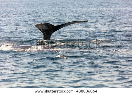 Whale in Cape Cod, Massachussetts, United States