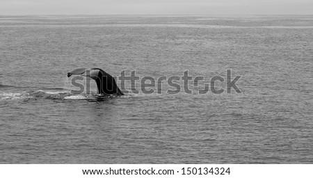 Whale in Kaikoura, New Zealand. - stock photo