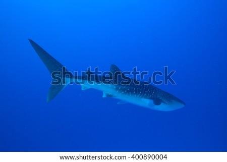 whale shark - stock photo