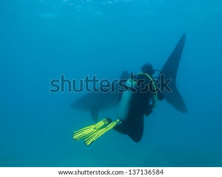 Whale shark and scuba diver - stock photo