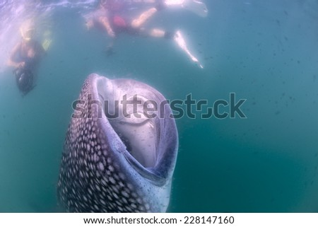 Whale Shark approaching a Photographer underwater in Mexico - stock photo