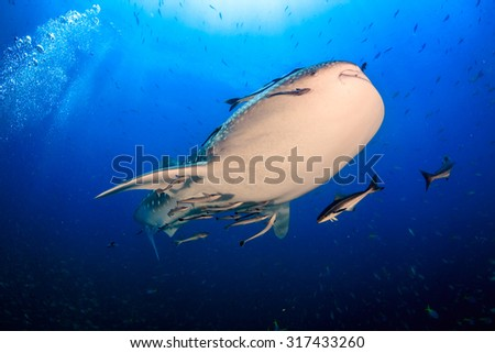 Whale shark at Ang Thong National Marine Park, Thailand - stock photo