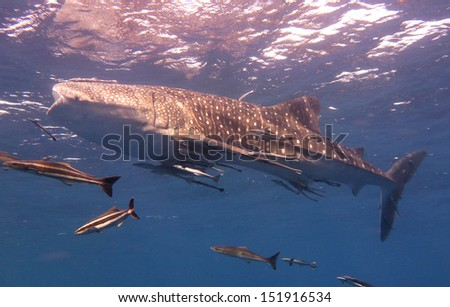 whale shark close to the surface - stock photo