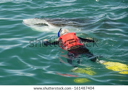 Whale Shark close up with a snorkelist - stock photo