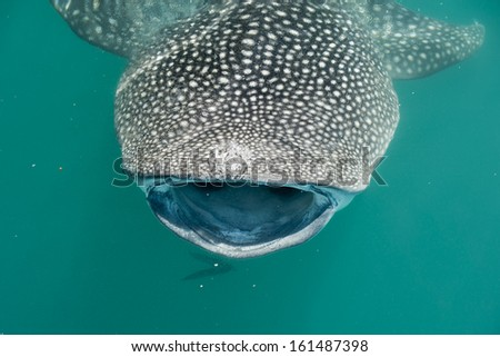 Whale Shark close up with big enormous open mouth jaws - stock photo