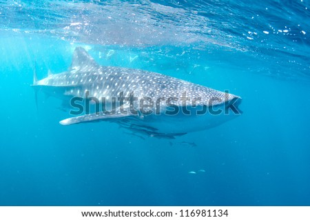 Whale shark feeds near the surface. - stock photo