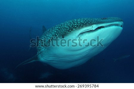 Whale Shark  in Darwin and Wolf in Galapagos - stock photo
