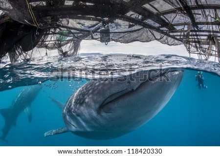 whale shark in indonesia - stock photo