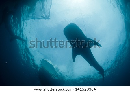 Whale Shark portrait underwater - stock photo