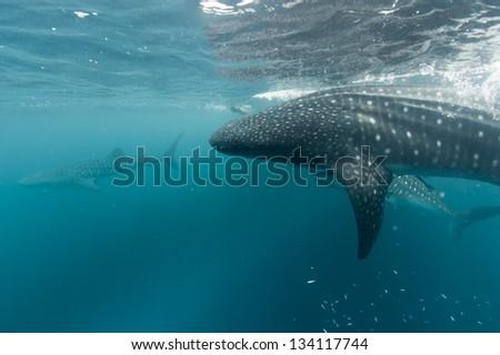 Whale Shark portrait underwater in Papua - stock photo