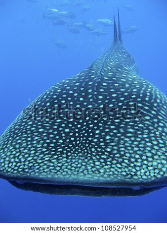 Whale Shark - Red Sea,Egypt - stock photo