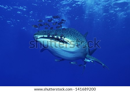 Whale shark ( Rhincodon typus) - stock photo
