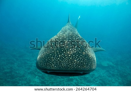 Whale Shark (Rhincodon Typus) Approaching, South Ari Atoll, Maldives - stock photo