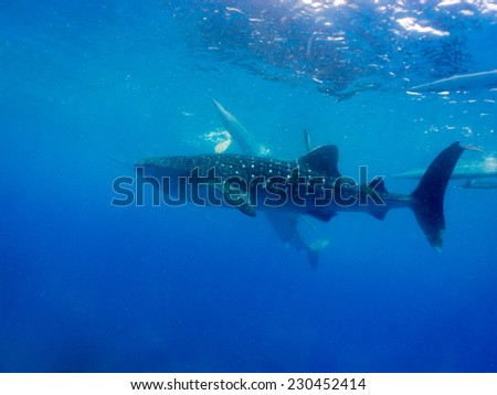 Whale shark (Rhincodon typus) is a filter feeding shark and the largest known extant fish species - stock photo