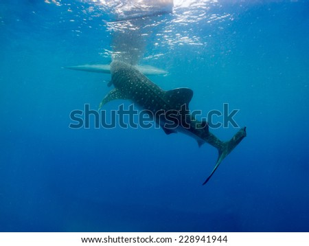 Whale shark (Rhincodon typus) is a slow-moving filter feeding shark and the largest known extant fish species - stock photo
