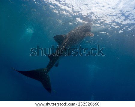 Whale shark (Rhincodon typus) is the largest known extant fish species