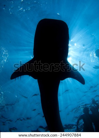 Whale shark, Rhincodon typus silhouette - stock photo